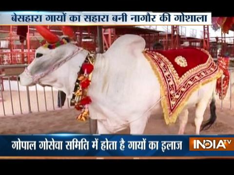 A special 'Gaushala Hospital' in Nagaur where cows are treated