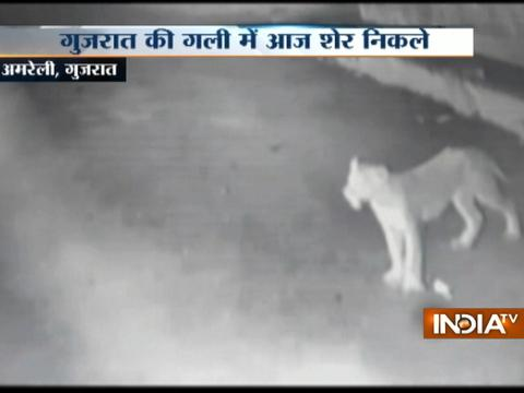 Unbelievable: Pride of Lions leave cow unhurt on Amreli road