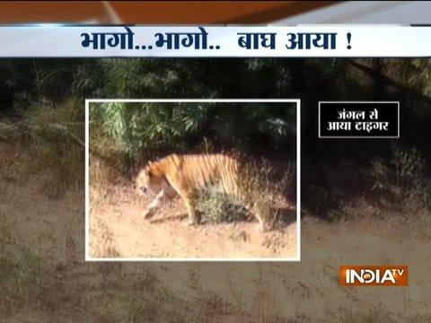 Panic aroused after stray tiger enters into a wedding area in Maharashtra