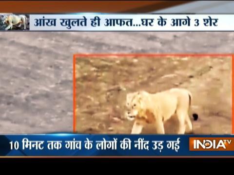 Caught on Camera: 3 Lions Roaming on Road at Amreli in Gujarat