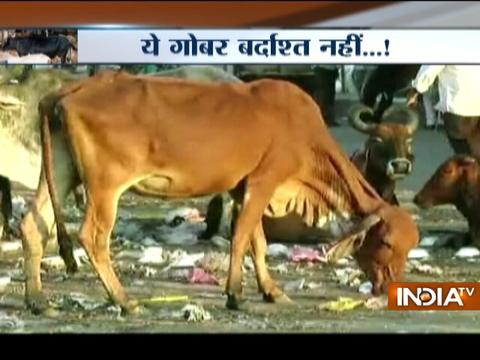 Gujrat: Amreli municipality orders daily cap on cattle dung