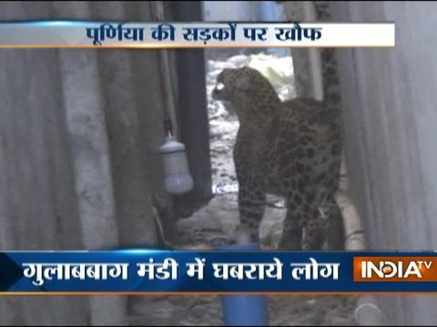 Leopard enters Bihar town, captured