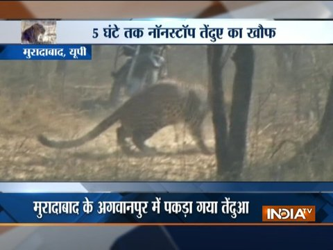 Uttar Pradesh: Leopard caught in Moradabad's Agawanpur area