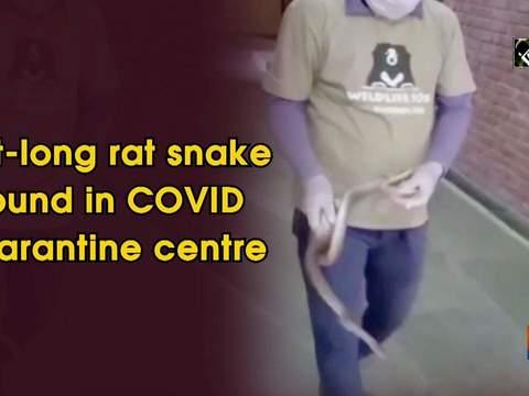 6-ft-long rat snake found in COVID quarantine centre