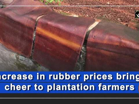 Increase in rubber prices brings cheer to plantation farmers