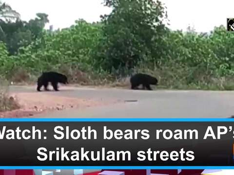 Watch: Sloth bears roam AP's Srikakulam streets
