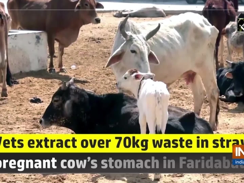 Vets extract over 70kg waste in stray pregnant cow's stomach in Faridabad