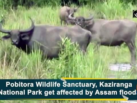 Pobitora Wildlife Sanctuary, Kaziranga National Park get affected by Assam floods