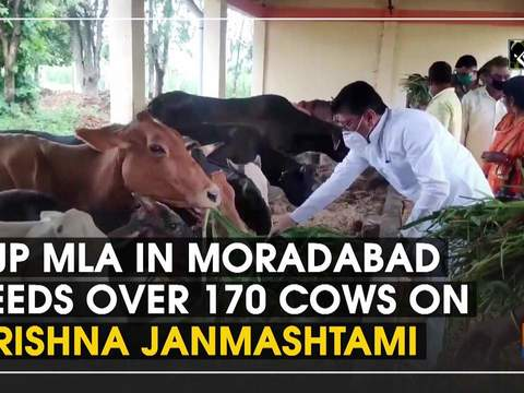 BJP MLA in Moradabad feeds over 170 cows on Krishna Janmashtami
