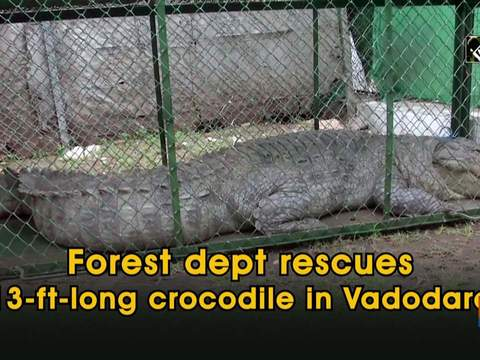 Forest dept rescues 13-ft-long crocodile in Vadodara