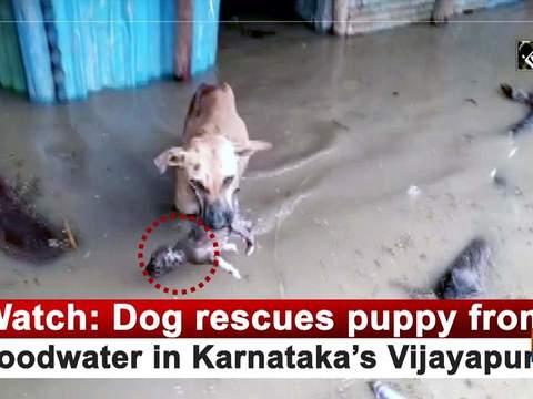 Watch: Dog rescues puppy from floodwater in Karnataka's Vijayapura