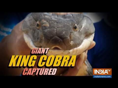 थाईलैंड में बचाव दल ने चार मीटर लंबे किंग कोबरा को पकड़ा