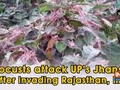 Locusts attack UP's Jhansi after invading Rajasthan, MP