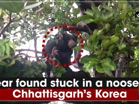 Bear found stuck in a noose in Chhattisgarh's Korea