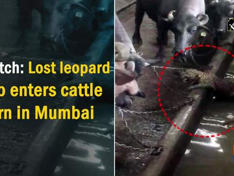 Watch: Lost leopard cub enters cattle barn in Mumbai