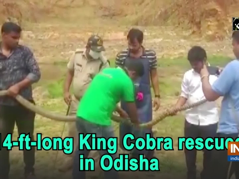 14-ft-long King Cobra rescued in Odisha
