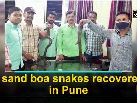 2 sand boa snakes recovered in Pune