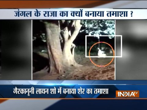 Video of lion teased with a cock tied to the tree goes viral on social media