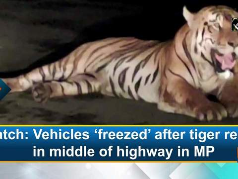 Watch: Vehicles 'freezed' after tiger rests in middle of highway in MP