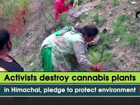 Activists destroy cannabis plants in Himachal, pledge to protect environment
