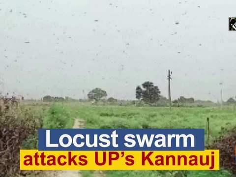 Locust swarm attacks UP's Kannauj