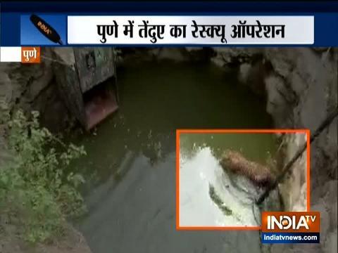 देखिये कैसे आज पुणे में एक कुएं से तेंदुए को बचाया गया