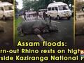 Assam floods: Worn-out Rhino rests on highway outside Kaziranga National Park
