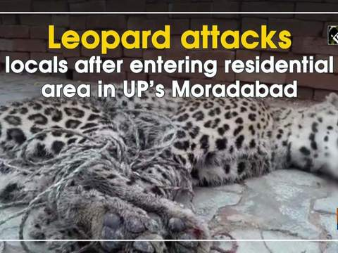 Leopard attacks locals after entering residential area in UP's Moradabad
