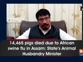 14,465 pigs died due to African swine flu in Assam: State's Animal Husbandry Minister