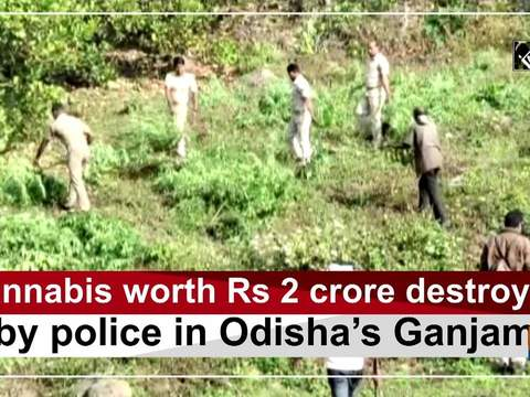 Cannabis worth Rs 2 crore destroyed by police in Odisha's Ganjam
