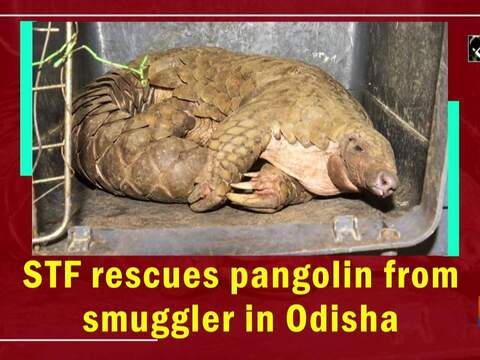 STF rescues pangolin from smuggler in Odisha