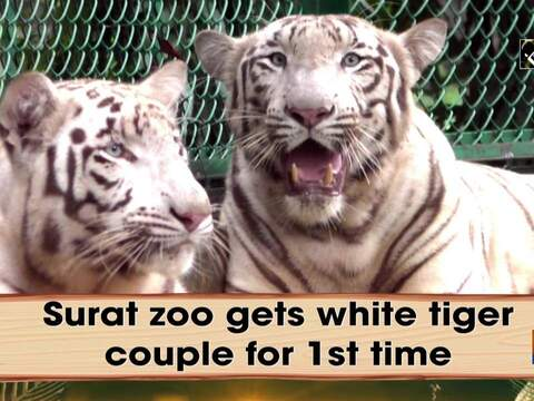 Surat zoo gets white tiger couple for 1st time