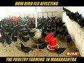 How Bird Flu affecting poultry farming in Maharashtra?