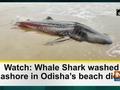 Watch: Whale Shark washed ashore in Odisha's beach dies