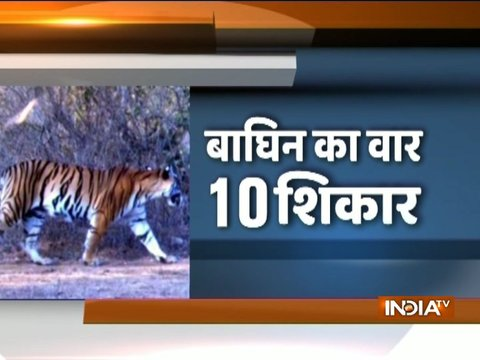 Nagpur: Drones, sniffer dogs deployed in search of man-eater tigress in Yavatmal