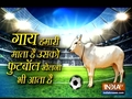 A cow playing football with humans is breaking the internet
