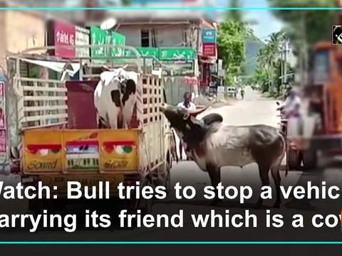 Watch: Bull tries to stop a vehicle carrying its friend which is a cow