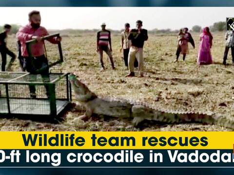 Wildlife team rescues 10-ft long crocodile in Vadodara