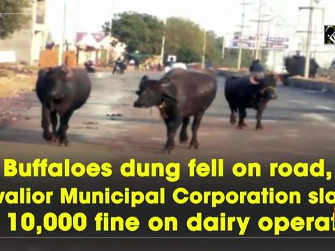 Buffaloes dung fell on road, Gwalior Municipal Corporation slaps Rs 10,000 fine on dairy operator