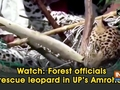 Watch: Forest officials rescue leopard in UP's Amroha