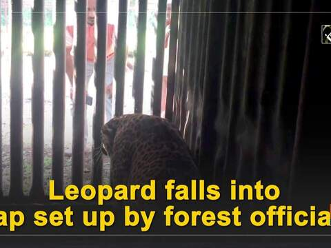 Leopard falls into trap set up by forest officials
