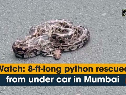Watch: 8-ft-long python rescued from under car in Mumbai