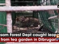 Assam Forest Dept caught leopard from tea garden in Dibrugarh