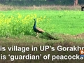 This village in UP's Gorakhpur is 'guardian' of peacocks