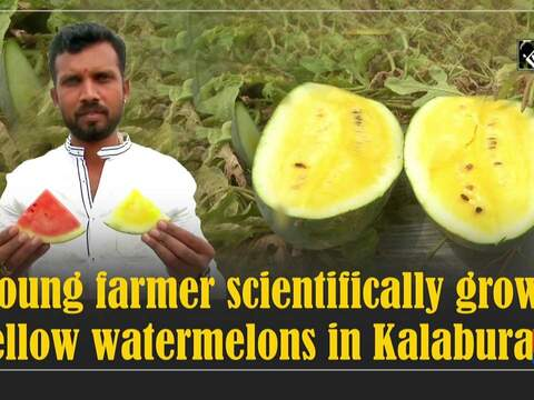Young farmer scientifically grows yellow watermelons in Kalaburagi