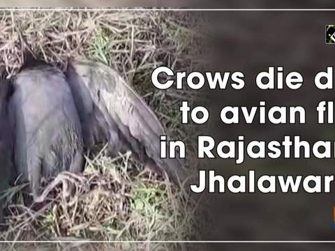 Crows die due to avian flu in Rajasthan's Jhalawar