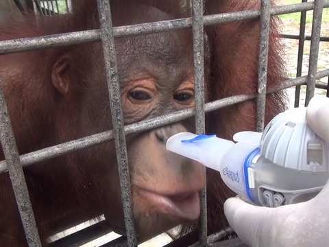 Indonesia forest fires could affect orangutans