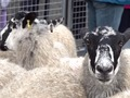 Sheep driven across London in 800-yr-old tradition