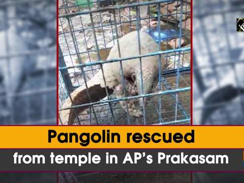 Pangolin rescued from temple in AP's Prakasam