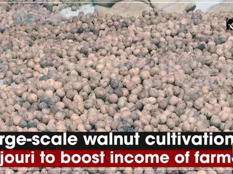 Large-scale walnut cultivation in Rajouri to boost income of farmers